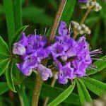 گیاه پنج انگشتی چه کاربردهای بالینی دارد؟